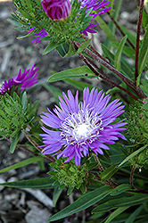 Honeysong Purple Aster (Stokesia laevis 'Honeysong Purple') at Schaefer Greenhouses