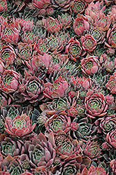 Purple Beauty Hens And Chicks (Sempervivum 'Purple Beauty') at Schaefer Greenhouses