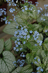 Jack Frost Bugloss (Brunnera macrophylla 'Jack Frost') at Schaefer Greenhouses