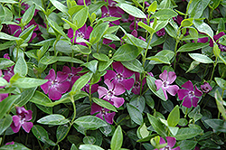 Burgundy Periwinkle (Vinca minor 'Atropurpurea') at Schaefer Greenhouses