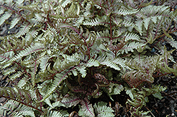 Red Beauty Painted Fern (Athyrium nipponicum 'Red Beauty') at Schaefer Greenhouses