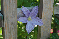 Blue Angel Clematis (Clematis 'Blue Angel') at Schaefer Greenhouses
