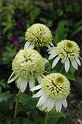 Coconut Lime Coneflower (Echinacea 'Coconut Lime') at Schaefer Greenhouses