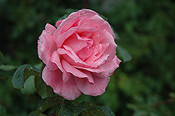 Queen Elizabeth Rose (Rosa 'Queen Elizabeth') at Schaefer Greenhouses