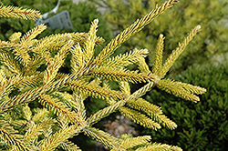 Skylands Golden Spruce (Picea orientalis 'Skylands') at Schaefer Greenhouses