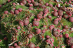 Red Beauty Hens And Chicks (Sempervivum 'Red Beauty') at Schaefer Greenhouses