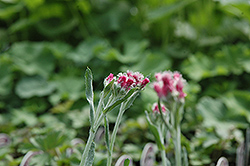 Red Pussytoes (Antennaria dioica 'Rubra') at Schaefer Greenhouses