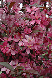 Royal Raindrops Flowering Crab (Malus 'Royal Raindrops') at Schaefer Greenhouses