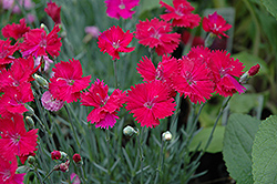 Neon Star Pinks (Dianthus 'Neon Star') at Schaefer Greenhouses