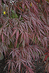Tamukeyama Japanese Maple (Acer palmatum 'Tamukeyama') at Schaefer Greenhouses
