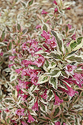 My Monet® Weigela (Weigela florida 'Verweig') at Schaefer Greenhouses