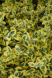 Emerald 'n' Gold Wintercreeper (Euonymus fortunei 'Emerald 'n' Gold') at Schaefer Greenhouses