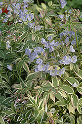Touch Of Class Jacob's Ladder (Polemonium reptans 'Touch Of Class') at Schaefer Greenhouses