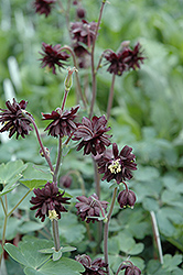Black Barlow Columbine (Aquilegia vulgaris 'Black Barlow') at Schaefer Greenhouses