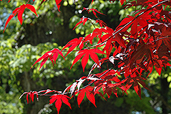 Emperor I Japanese Maple (Acer palmatum 'Wolff') at Schaefer Greenhouses