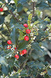 Berri-Magic Kids Meserve Holly (Ilex x meserveae 'Berri-Magic Kids') at Schaefer Greenhouses