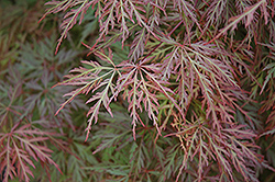 Orangeola Cutleaf Japanese Maple (Acer palmatum 'Orangeola') at Schaefer Greenhouses