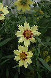 Red Shift Tickseed (Coreopsis 'Red Shift') at Schaefer Greenhouses