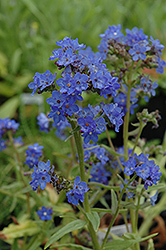Blue Angel Summer Forget-Me-Not (Anchusa capensis 'Blue Angel') at Schaefer Greenhouses