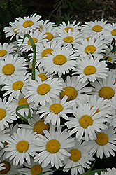 Snow Lady Shasta Daisy (Leucanthemum x superbum 'Snow Lady') at Schaefer Greenhouses