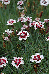 Brilliant Star Pinks (Dianthus 'Brilliant Star') at Schaefer Greenhouses