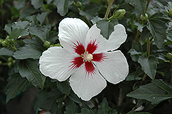 Lil' Kim® Rose of Sharon (Hibiscus syriacus 'Antong Two') at Schaefer Greenhouses