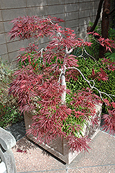 Ever Red Lace-Leaf Japanese Maple (Acer palmatum 'Ever Red') at Schaefer Greenhouses
