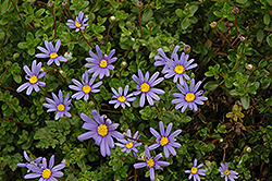 Blue Daisy (Felicia amelloides) at Schaefer Greenhouses