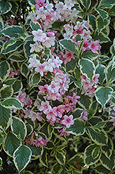 Variegated Weigela (Weigela florida 'Variegata') at Schaefer Greenhouses