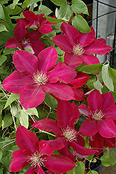 Rebecca Clematis (Clematis 'Rebecca') at Schaefer Greenhouses