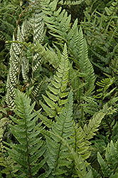 Korean Rock Fern (Polystichum tsus-simense) at Schaefer Greenhouses