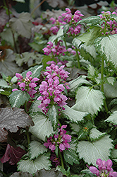 Ghost Spotted Dead Nettle (Lamium maculatum 'Ghost') at Schaefer Greenhouses
