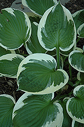 Minuteman Hosta (Hosta 'Minuteman') at Schaefer Greenhouses