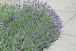 Munstead Lavender (Lavandula angustifolia 'Munstead') at Schaefer Greenhouses