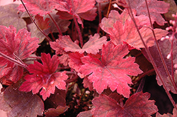 Sweet Tea Foamy Bells (Heucherella 'Sweet Tea') at Schaefer Greenhouses