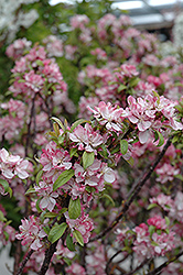 Coralburst Flowering Crab (Malus 'Coralburst') at Schaefer Greenhouses