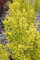 Sunjoy Gold Pillar Japanese Barberry (Berberis thunbergii 'Sunjoy Gold Pillar') at Schaefer Greenhouses