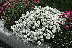 Tahoe Candytuft (Iberis sempervirens 'Tahoe') at Schaefer Greenhouses