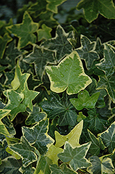 Gold Child Ivy (Hedera helix 'Gold Child') at Schaefer Greenhouses