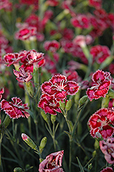 Cranberry Ice Pinks (Dianthus 'Cranberry Ice') at Schaefer Greenhouses