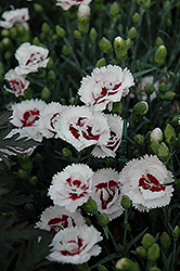 Scent First® Coconut Surprise Pinks (Dianthus 'WP05Yves') at Schaefer Greenhouses