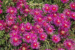 Purple Ice Plant (Delosperma cooperi) at Schaefer Greenhouses