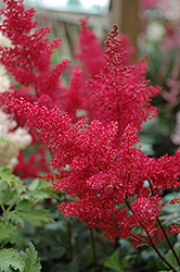 Montgomery Japanese Astilbe (Astilbe japonica 'Montgomery') at Schaefer Greenhouses