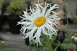 Aglaia Shasta Daisy (Leucanthemum x superbum 'Aglaia') at Schaefer Greenhouses