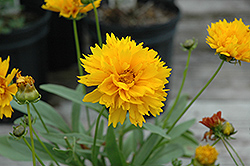 Sunray Tickseed (Coreopsis grandiflora 'Sunray') at Schaefer Greenhouses