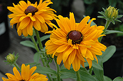 Goldilocks Coneflower (Rudbeckia hirta 'Goldilocks') at Schaefer Greenhouses
