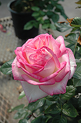 Princesse De Monaco Rose (Rosa 'Princesse De Monaco') at Schaefer Greenhouses
