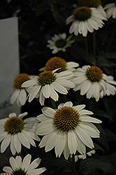 PowWow White Coneflower (Echinacea purpurea 'PowWow White') at Schaefer Greenhouses