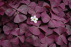 Charmed Wine Shamrock (Oxalis 'Charmed Wine') at Schaefer Greenhouses