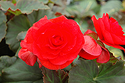 Solenia® Red Begonia (Begonia 'Solenia Red') at Schaefer Greenhouses
